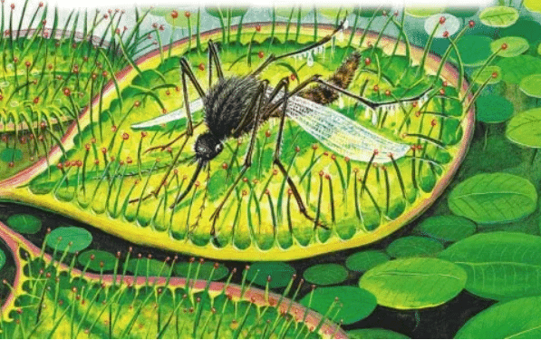 Росянка Комариная Смерть